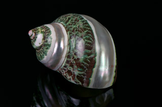 320_05_5511_snail_shell_mother-of-pearl
