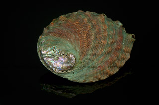 320_05_5536_abalone_shell_top
